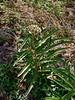 AZ-F-Asclepias asperula 2018.5.5#717. The Antelope Horn Spider Milkweed. Chiricahua Mountains Arizona.