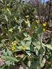 AZ-CTS-Opuntia engelmannii var.linguiformis 2018.5.1#153. the Cow's Tongue Prickly Pear cactus. Sandario Rd, near Sagauro West Park, Arizona.