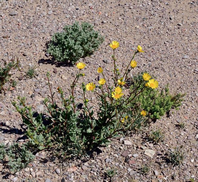 AZ-Z-F Unknown species 2019.3.5#022.3. North of Ajo Arizona.