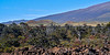 HI-TS-Ohi'a trees 2015.2.2#119. Colonizing an ancient Mauna Loa lava flow with numerous cinder cones and Mauna Kea in the background.