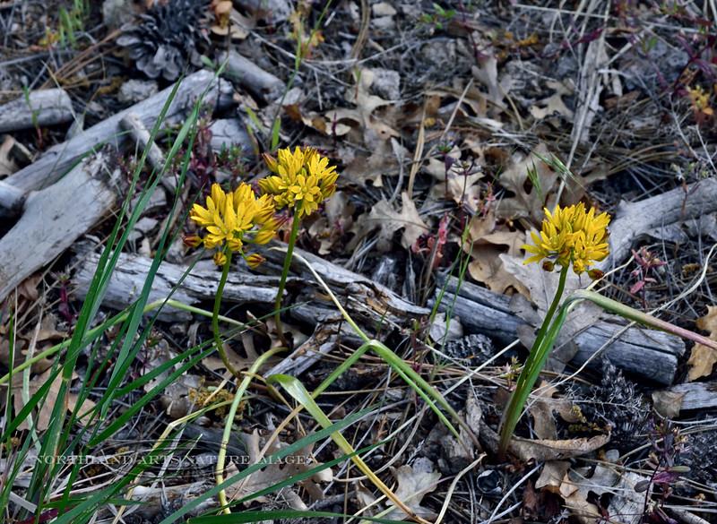 AZ-F-Triteleia lemmoniae 2019.6.5#339.3. The Lemmon's Star, a rare plant. North of Strawberry Arizona.