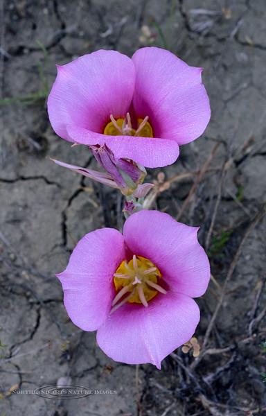 UT-F-Calochortus nuttallii 2019.6.19#960. The Sego Mariposa Lilly. Near Steinaker Lake, Utah.