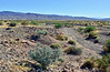 NV-TS-Psorothramnus arborescens 2020.5.4#1110.3. Indigo Bush in typical habitat. North Shore of Lake Mead Nevada.