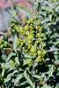 AZ-TS-Ambrosia deltoidea 2020.3.20#7784.4. Triangle-leaf Bursage. Lake Pleasant Arizona.