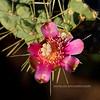 AZ-CTS-Cylindropuntia fulgida 2018.6.19#479. A Chainfruit Cholla blossum. East end of Roosevelt Lake Arizona.