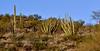 AZ-CTS-Stenocereus thurberi 2019.3.6#038, the Organ pipe Cactus 2019.3.6#038. The very early mourning glow. Organ Pipe Cactus NM, Arizona.