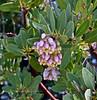 AZ-TS-Arctostaphylos pungens 2018.5.5#750.5. Urn-like flowers of the Pointleaf, Mexican Manzanita. High in the Heart of Rocks Hoodoos,  Chiricahua Monument Arizona.