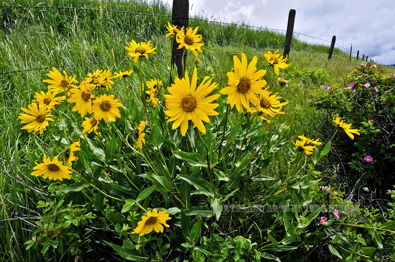 ID-F-Helianthella unflora 2012.6.19#070.7XXXx. Little Mountain Sunflower. Fairview Road, Camas Prairie west of Grangeville, Idaho.