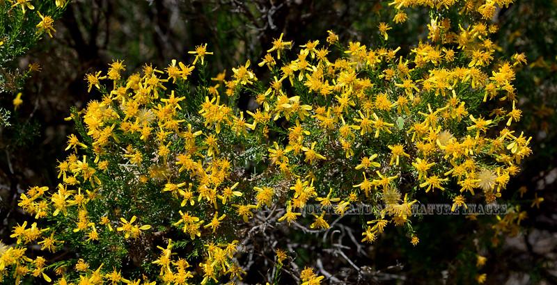 AZ-TS-Ericameria laricifolia 2018.5.15#946, the Turpentine Bush. Madera Canyon Arizona.