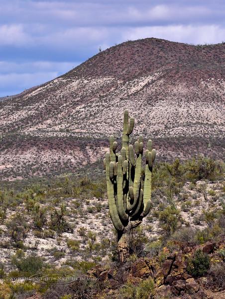 AZ-CTS-Carnegiea gigantea 2018.10.17#1358. Saguaro Cactus. Old West Highway route 70, Arizona.