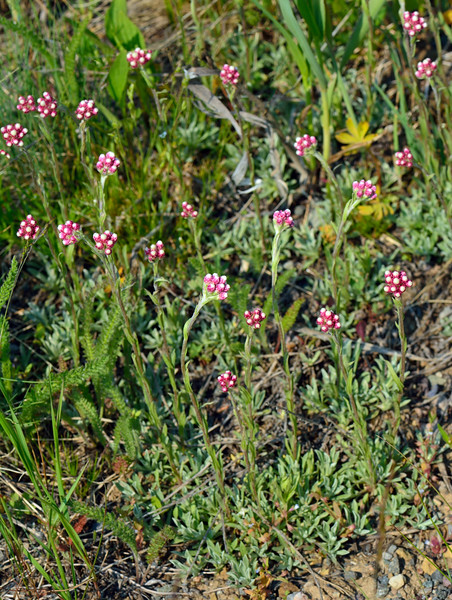 WY-F-Antennaria microphylla 2018.7.5#4505, the Rosey Pussytoes. Bighorn Mountains, Wyoming.