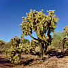 AZ-Cactus, Cholla, Chainfruit. Pinal County, Arizona. #1214.004.