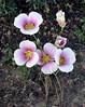 UT-F-Calochortus nuttallii 2019.6.19#963. The Sego Mariposa Lilly, the State flower of Utah. Near Steinaker Lake, Utah.
