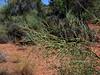 AZ-TS-Canotia holacantha 2019.9.21#397.2. The Crucifixion Thorn. Red Rock Country Arizona.