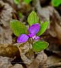 PA-F-Polygala paucifolia 2016.5.12#030.5. Fringed Polygala. Pike County Pennsylvania.
