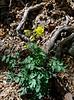 AZ-F-Aquilegia chrysantha 2018.4.18#122, the Yellow Columbine. Near Montezuma's Well, Verde Valley Arizona.