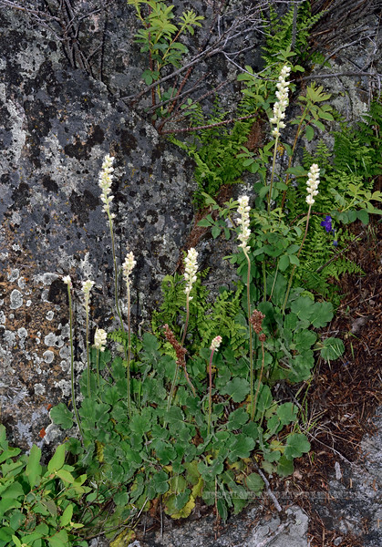 WY-F-Heuchera Cylindrica 2019.6.20#1222, the Roundleaf Alumroot. Lamar Canyon, Yellowstone Park Wyoming.
