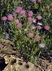 AZ-TS-Fallugia paradoxa 2017.6.12#062.2. Apache Plume. Mingus Mountain Arizona.