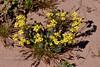 AZ-F-Physaria species 2019.3.5#052. Bladderpod. Ajo Mountains, Organ Pipe Nat.Mon. Arizona.