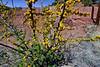 AZ-Acacia smallii. Near the Lavender pit at the old Bisbee mine Arizona. #410.650.