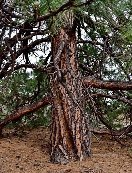 AZ-TS-Pinus ponderosa 2018.6.6#538.3. A Pondorosa Pine maintaining limbs unusually close to the ground. Sunset Crater Volcano, Arizona.