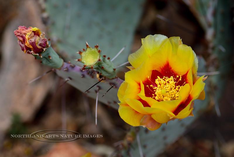 AZ-CTS-Opuntia macrocentra 2018.5.1#175, the Black-spine Prickly pear. Sonoran Desert Arizona.
