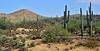 AZ-DS-Desertscape 2017.7.27#007. Cylindropuntia bigelovii, C. acanthocarpa, Ferrocactus cylindraceus, and Carnegiea gigantea mixed with Creasote bush and Palo Verde. Carefree Highway Arizona.