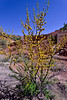 AZ-Acacia smallii. Near the Lavender pit of the old Bisbee mine, Arizona. #410.368.
