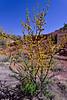 AZ-TS-Acacia smallii 2018.4.10#368, renamed now to Vachellia farnesiana. Near the Lavender pit of the old Bisbee mine, Arizona.
