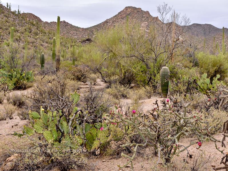 AZ-CTS-Cylindropuntia acanthocarpa 2018.5.1#427. A Buckhorn Cholla. Saguaro West Nat. Park, Arizona.