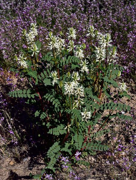 AZ-F-Astragalus praelongus 2019.4.8#003, the Stinking Milkvetch. Verde Valley Arizona.