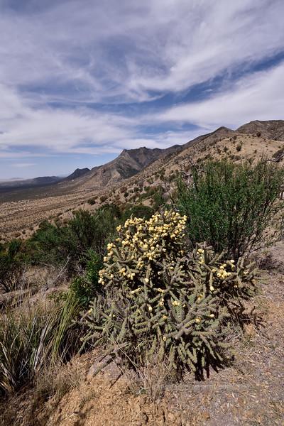AZ-CTS-Cylindropuntia spinosior 2018.4.9#189. The Cane Cholla in Montezuma's Pass. Coronado Monument Arizona.