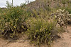 AZ-CTS-Cylindropuntia leptocaulis 2018.5.1#467, the Desert Christmas Cholla flanked by Pencil Cholla on the left and Cane Cholla on the right. Sagauro  West, Sonoran Desert Arizona.