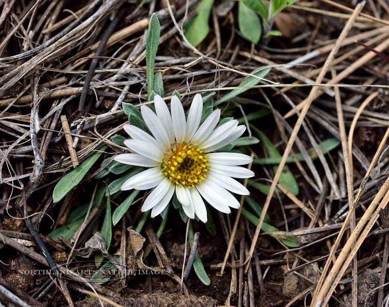 AZ-F-Townsendia exscapa 2019.5.11#092.3. Stemless Townsend Daisy, uncommon. Mingus Mountain Arizona.