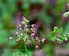 WY-F-Thalictrum occidentale 2019.6.20#1719. Western Meadow-Rue, female flowers. Canyon campground area, Yellowstone Park Wyoming.