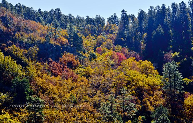 AZ-Mountainscape-2019.10.25#034.5. Autumn color near the summit of Mingus Mountain Arizona.