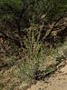 AZ-F-Anisacanthus thurberi 2018.4.9#117, the Thurber's Desert Honeysuckle. Box Canyon Road, Santa Rita Mountains Arizona.