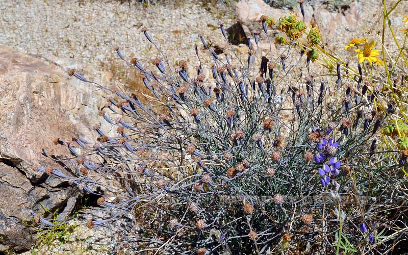 NV-F-Porophyllum gracile 2020.4.15#9738.4. Slender Pore-leaf. Newberry Mountains Nevada.