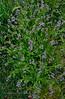 AZ-F-Boechera perennans 2020.3.27#9002.2. Rock Cress. One of the earliest blooming wild plants. Prescott Valley Arizona.