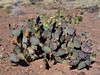 AZ-CTS-Opuntia macrocentra 2018.5.5#902, the Black-spine Prickly Pear Cactus. Northeast of Safford Arizona.