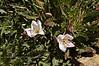 AZ-Oenothera deltoids. the Dune Evening primrose. Saquaro Nat. Park,AZ. #337.0008. 2x3 ratio format.