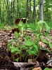 PA-F-Arisaema triphyllum 2016.5.14#078.4. Jack-in-the-Pulpit. Bridgeton Township, Bucks County Pennsylvania.