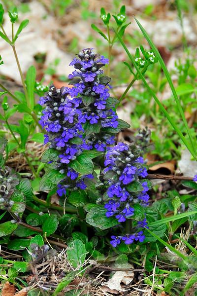 PA-F-Ajuga reptans 2008.4.26#006 the  Bugle Weed. Tinicum Township, Bucks County Pennsylvania.