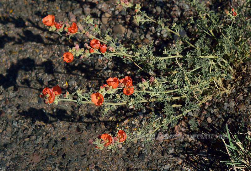 AZ-F-Sphaeralcea coccinea 2016.4.24#020, the Scarlet Globemallow. Mingus Mountain Arizona.
