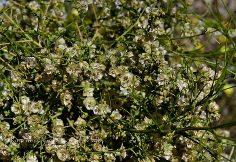 NV-TS-Ambrosia salsola 2020.4.15#7266.2. White Burro Brush. Newberry Mountains near Christmas Tree Pass Nevada.