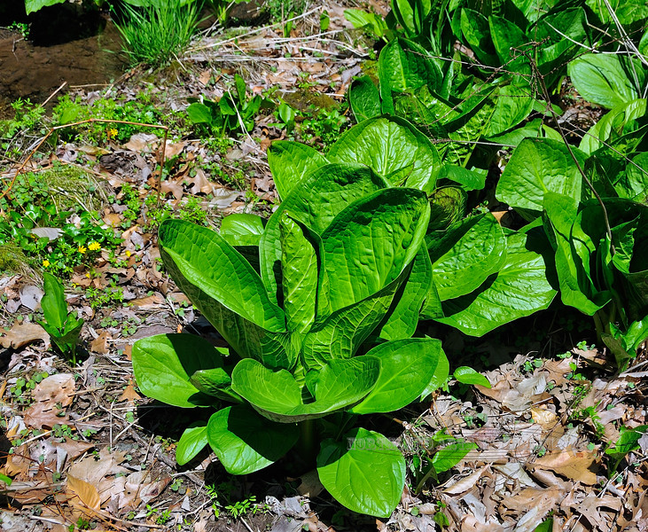 PA-F-Symplocarpus foetidus 2008.4.17#321.2. Skunk Cabbage. Bowman's Hill, Bucks County Pennsylvania.