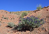 NV-TS-Psorothramnus arborescens 2020.5.4#1151.2. Indigo Bush in perfect afternoon light. North Shore of Lake Mead Nevada.