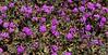AZ-F-Abronia villosa 2019.3.20#091, the Desert Sand Verbena. Sonoran Desert, Pima County Arizona.