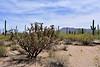 AZ-CTS-Cylindropuntia spinosior 2018.5.1#190. The Cane Cholla. Sandario Road, Pima County Arizona.