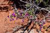 AZ-TS-Dalea Formosa 20119.4.19#248, the Featherplume. Red Rock Country, east of Sedona Arizona.